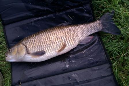 The 7lb chub landed by Dave Fallen