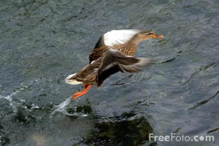 A flying duck...