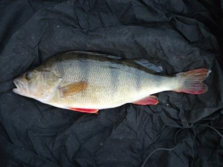 A 1lb 12oz perch taken on the feeder by Mark Baldwin
