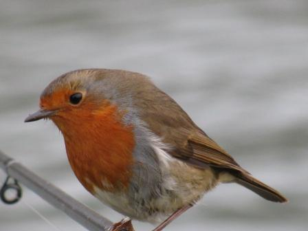 Close up of a Robin sitting on Phil Nixon's rods