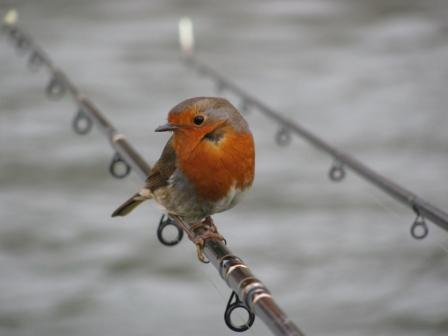 Another lovely shot of a robin taken by Phil Nixon.