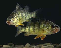 Shot of Perch underwater