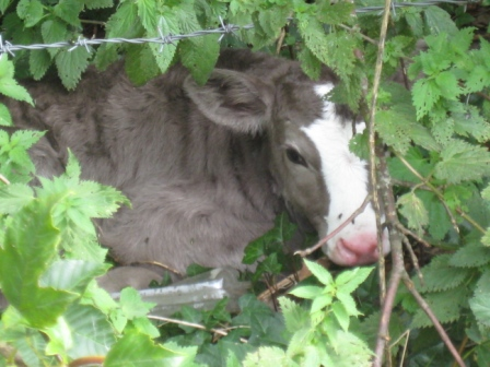 Having met Brian earlier in the day, this calf took evasive action on seeing him returning along the river bank