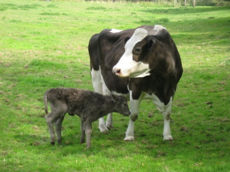 calf and mum